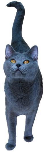 Pochodzenie Kotów Kartuzkich